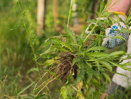 Как избавиться от сорняков на огороде