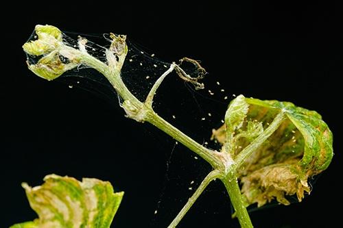 Паутинный клещ на огурцах: 7 средств от вредителя