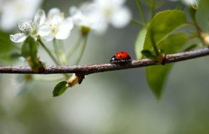 як боротися з попелицею у саду