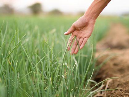 Болезни и вредители лука: как уберечь урожай