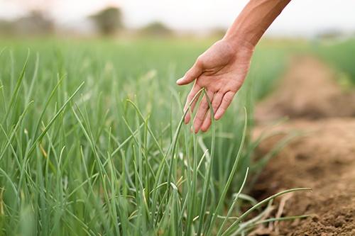 Хвороби і шкідники цибулі: як вберегти урожай