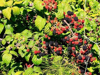 Вирощування ожини: переваги та відмінності від малини