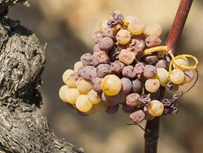 Як контролювати оїдіум – одну із найнебезпечніших хвороб винограду
