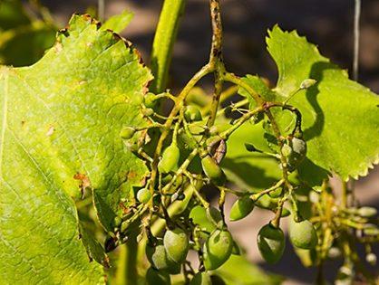 Мілдью винограду: розпізнати і перемогти
