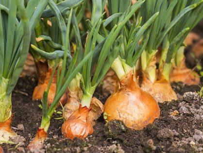 Вирощування зеленої цибулі: секрети отримання вітамінів