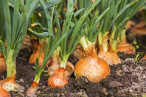 Выращивание зеленого лука: секреты получения витаминов