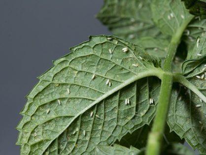 Белокрылка: борьба в теплице и огороде