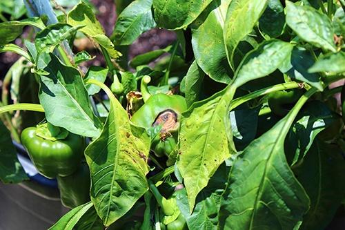 Все про болезни рассады перца и взрослых растений