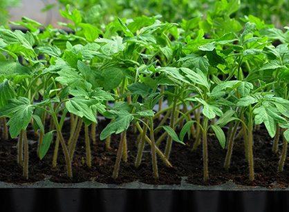 Черная ножка у рассады томатов: как предотвратить болезнь