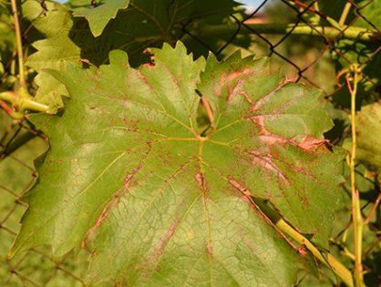 Антракноз винограду: захистіть лозу від виноградної віспи