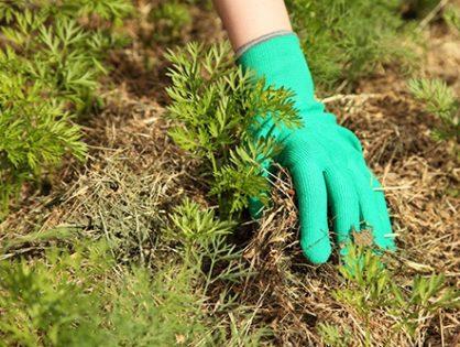 Мульчування саду і городу: переваги методу