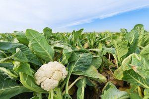 для гарного врожаю необхідний захист капусти від шкідників та хвороб
