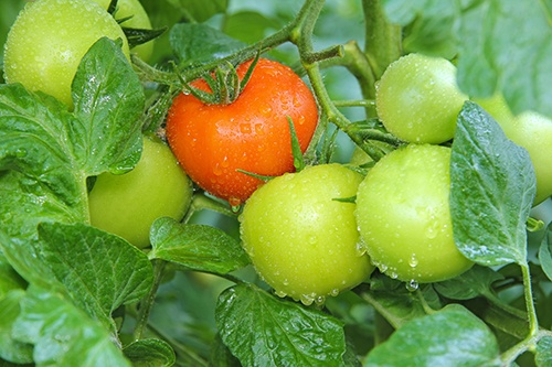 Полив томатов: пять советов огороднику