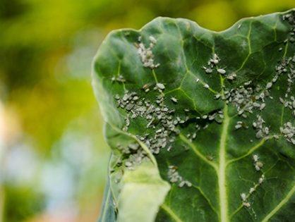 Попелиця – шкідник капусти: 10 методів контролю