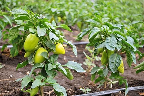 Посадка перца: как подготовиться огороднику