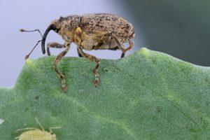 захист капусти від шкідників - довгоносиків та інших