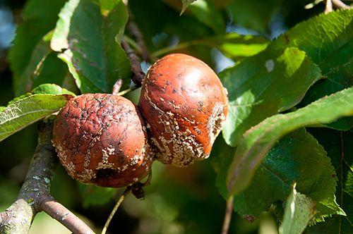 Хвороби яблунь