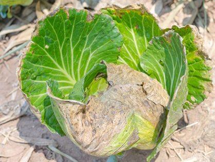 Хвороби капусти і їх лікування