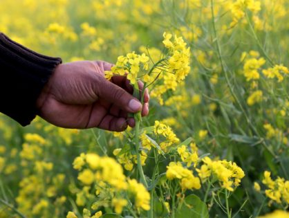 Рослини-сидерати: органічні добрива для вашого городу