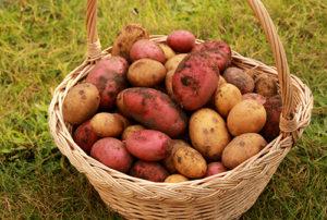 найсмачніші сорти картоплі