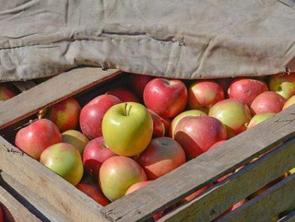 Хранение яблок: все секреты свежих фруктов