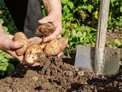 Когда копать картошку: советы огороднику