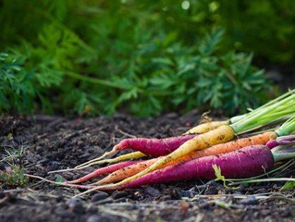 Сорта моркови: для лета и зимы