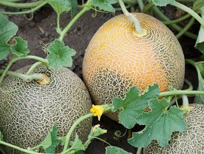 Як виростити диню: із розсади та з насіння