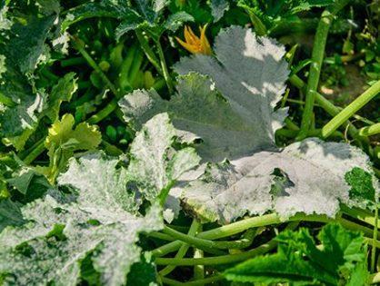 Болезни кабачков: как защитить урожай
