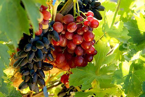 Сорти винограду в Україні: як обрати кращу лозу