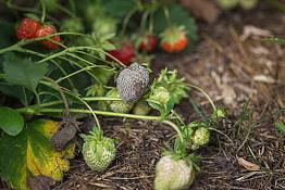 Хвороби полуниці та їх лікування: збираймо ягоди, а не гриби