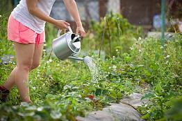 Полив полуниці: як правильно напоїти ягоди