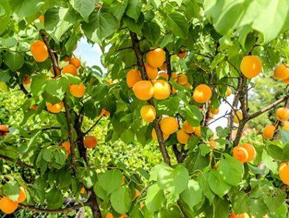 Сорти абрикосів: обираємо південне чудо