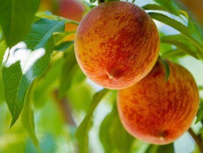 Сорти персика: урожай з липня до вересня