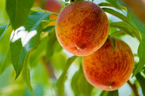 Сорта персика: урожай с июля по сентябрь