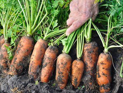 Вредители моркови: как защитить корнеплоды
