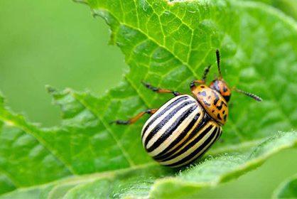Колорадський жук: боротьба зі шкідником препаратом «АТО-Жук»