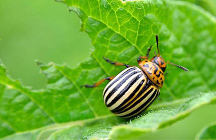 Инсектицид «АТО Жук» колорадский жук: борьба с вредителем
