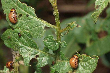 Инсектицид «ФАС» - для уничтожения широкого спектра вредителей
