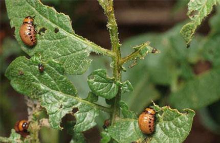 Препарат Фас від комах-шкідників