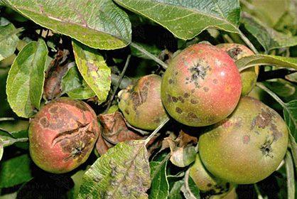 Фунгицид «Фундазим» против широгоко спектра болезней растений
